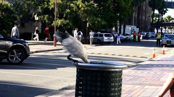ibis_in_trash.jpg